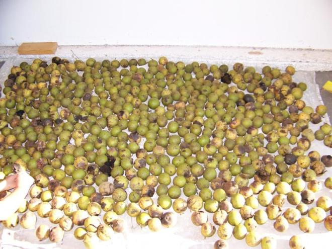 Black Walnuts harvested from fall 2008.
